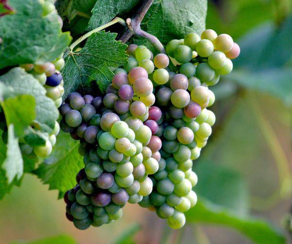 Zdravilni in lepotni učinki grozdja