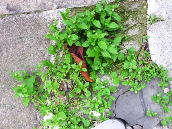 Kako se znebiti plevela na naravni način?
